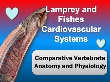 Fish Hearts: Cardiovascular Systems of Lamprey (Agnatha) &