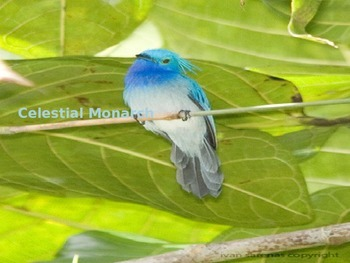 Celestial Monarch - Bird - Power point - facts history pictures