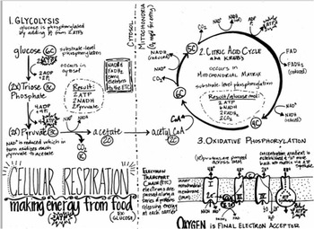 Cellular Respiration Summary Sheet (black and white)