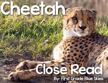 Cheetah Close Read