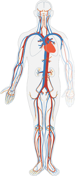 FREE Circulatory System clip art - Commercial Use OK