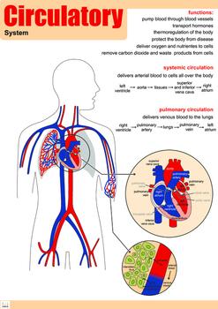 Circulatory System Poster