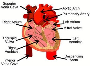 Circulatory System Reader's Theatre