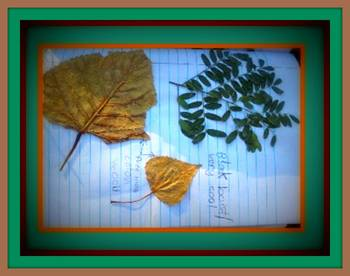 Leaf identification activity: dichotomous classification k