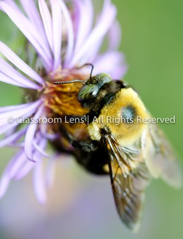 Classroom Lens Stock Photo - Bee on Flower 2