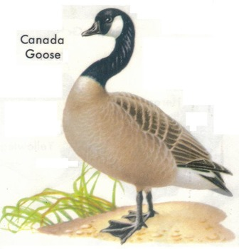 Compare/Contrast Worksheet: Ducks and Geese 18 Reading Com