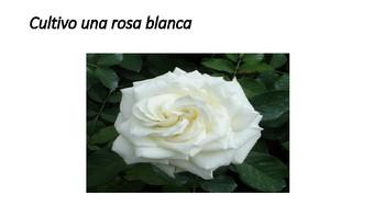 Cultivo una rosa blanca por José Martí