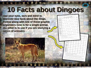 DINGOES - visually engaging PPT w facts, video links, hand