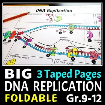 DNA Replication Foldable - Big Foldable for Interactive No