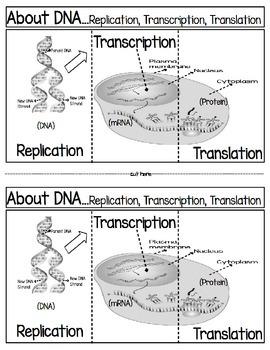 DNA,,,Replication, Transcription Translation