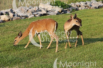 Deer Photograph, Deer Grazing Photo, Deer in Grass Photo