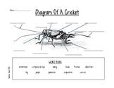 Diagram of a Cricket