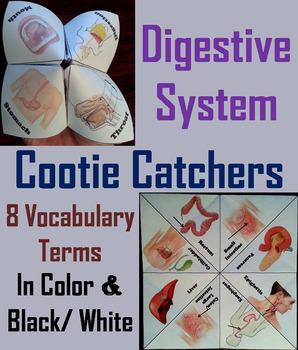 Digestive System Activity/ Foldable