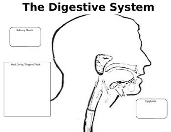 Digestive System Tri-Fold Labeling/Coloring
