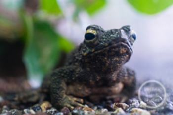 Dollar Stock Photo 116 Toad Stare