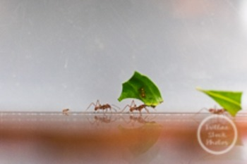 Dollar Stock Photo 119 Leafcutter Ants