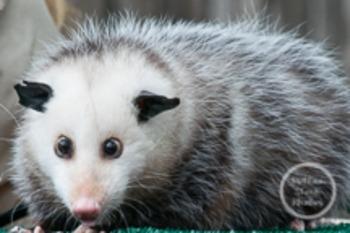 Dollar Stock Photo 144 Opossum