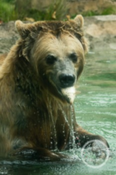 Dollar Stock Photo 165 Grizzly Bear with Fish