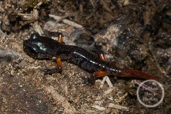 Dollar Stock Photo 177 Salamander
