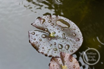 Dollar Stock Photo 192 Lily Pads in the Rain