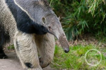 Dollar Stock Photo 22 Giant Anteater