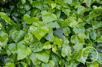 Dollar Stock Photo 240 Green Ivy