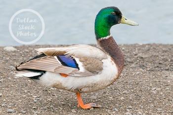 Dollar Stock Photo 257 Mallard Duck