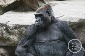 Dollar Stock Photo 307 Silverback Gorilla
