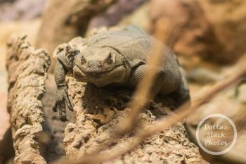 Dollar Stock Photo 324 Lizard