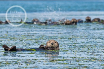 Dollar Stock Photo 60 Sea Otter in front of his Friends