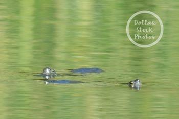 Dollar Stock Photo Freebie 1 Turtles in a Pond
