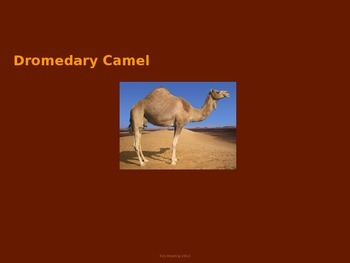 Dromedary Camel - Power Point Information Pictures