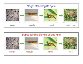 Dual Language Bilingual Stages of the Frog Life Cycle