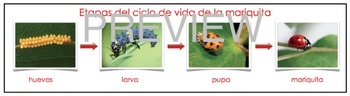 Dual Language Bilingual Stages of the Ladybug Life Cycle