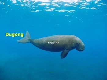 Dugong Power Point - rare ocean animal - facts pictures -