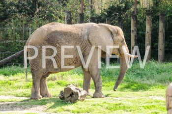 Stock Photo: Elephant -Personal & Commercial Use