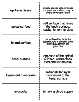 Epithelial Tissue Vocabulary Flash Cards