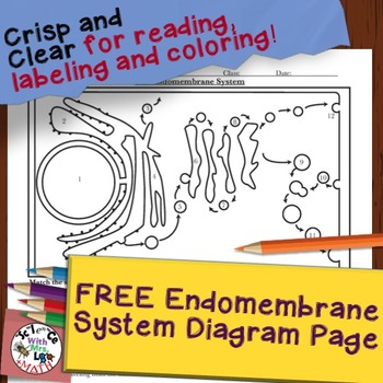 FREE Endomembrane System Diagram and Questions from Cell O