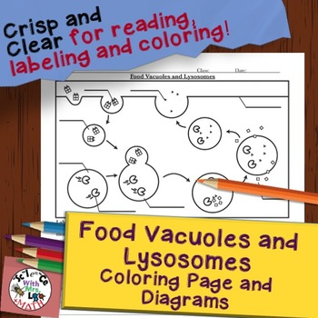 Food Vacuole Lysosome Cell Diagram Coloring Page and Reading Page