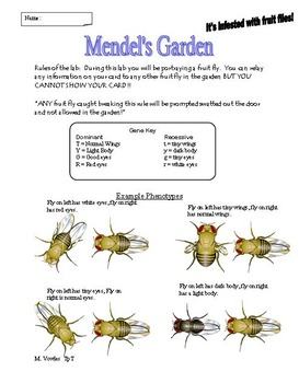 Fruit flies in Mendel's Garden!  Learning about genotypes