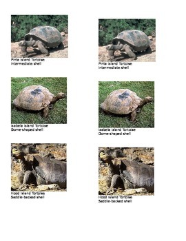 Galapagos Tortoise and Island Comparison-Natural Selection