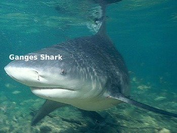 Ganges Shark - Power Point - Information Pictures Facts Rare