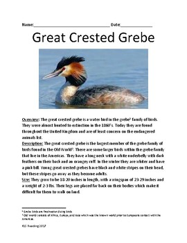 Great Crested Grebe - bird informational article lesson fa