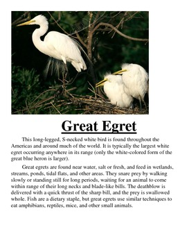 Great Egret Information (Life Cycle)