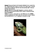 Green Iguana - Informational article facts history questio