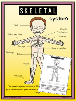 HUMAN SKELETAL SYSTEM DIAGRAM Poster and Labelling Activit