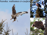 Hawks, Vultures & Eagles..... (photos for commercial use)