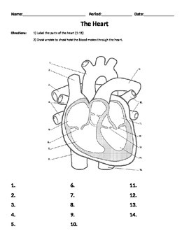 Heart Worksheet - Parts and Flow, Organs, Body Systems, Ca