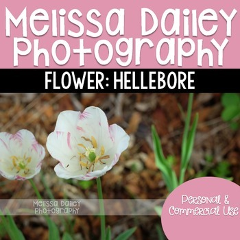 Hellebore Photograph