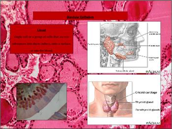 Histology - Glands